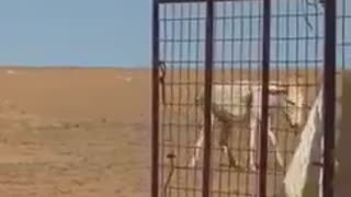 Crazy Donkey messes with Camel. You won't believe want happens