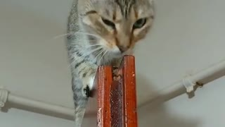 Acrobatic Cat Chills Out On Top Of Door