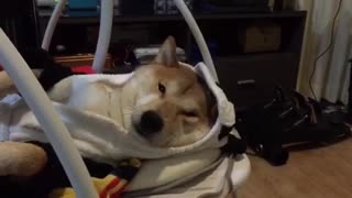 Shiba Inu takes nap in baby swing - Video