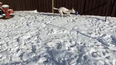 Dog try's to get human to chase her