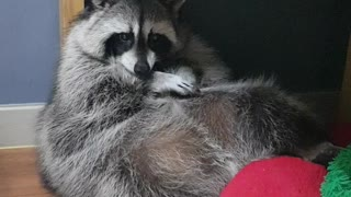 Raccoon sitting like a human being