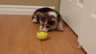 Adorable Little Corgi Goes Nuts For His First Tennis Ball