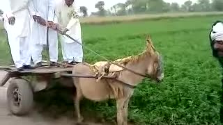 Donkey and cart used for load transfer from one place to another  - Video