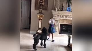 Music black dog plays with little girl balloon poodle - Video