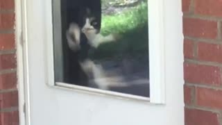 Black and white cat clawing at door window - Video