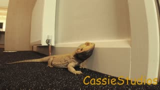 Bearded Dragon So excited Head bops the wall!  - Video