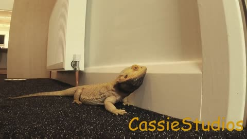 Bearded Dragon So excited Head bops the wall!