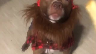 Dog black red flannel red beanie - Video