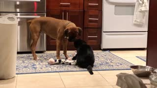 Boxer dog steals from cat