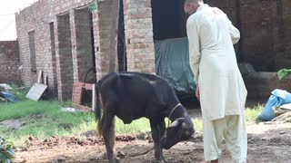 Crazy Fight Between A baby Buffalo (Calf) and Crazy Guy - Video