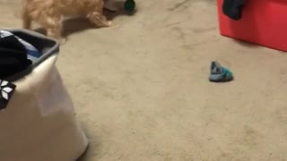 Brown dog biting plastic bottle  - Video