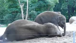 elephant playing with his mom  - Video