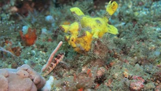 Frogfish Preys - Video