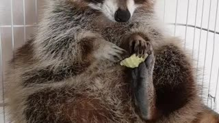 Pet raccoon lovingly plays with seashell - Video