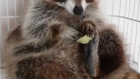 Pet raccoon lovingly plays with seashell