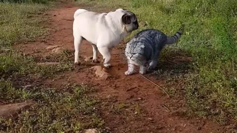 Pug and cat go on adventurous hike together