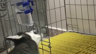 husky drinking water  - Video