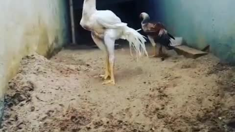 special rare sportive chickens for game fight