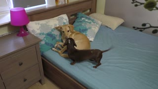 Dog refuses to share bed with dachshund - Video