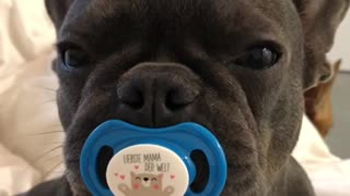 French Bulldog Enjoys his Binky
