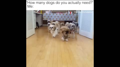 How many dogs does Munchkin the Teddy Bear need?