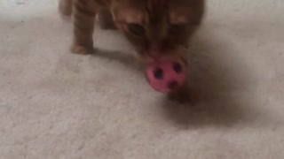 Cat enjoys playing fetch  - Video
