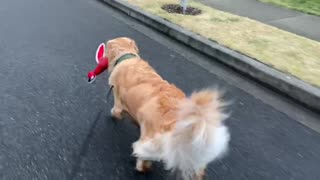 Golden Retriever walks with her duck every single day