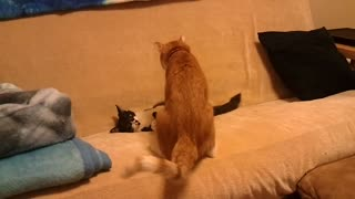 Cats playing with each other - Video