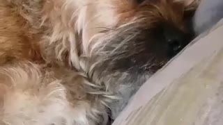 Music plays while small brown dog lays on couch  - Video