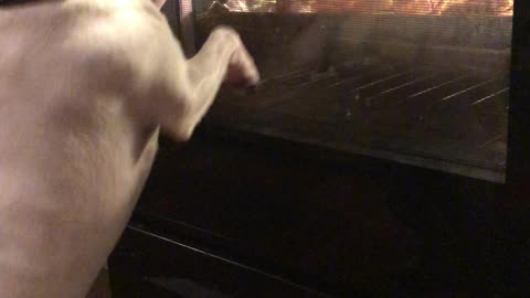 Dog Excited About Chicken Cooking in Oven