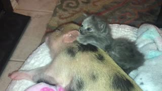 Kitten and piglet cuddle by the fire