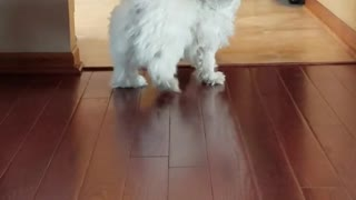 White dog barking for fetch tennis ball runs into wall - Video