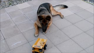 German Shepherd Puppy Dog Chicken Wing Deliver by RC Dump Truck - Video