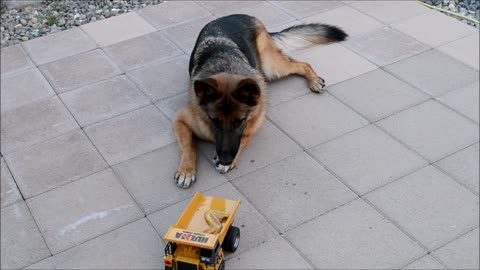 German Shepherd Puppy Dog Chicken Wing Deliver by RC Dump Truck