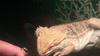 Bearded dragon trying to lick finger