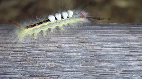 Strange looking caterpillar takes a walk on the catwalk.