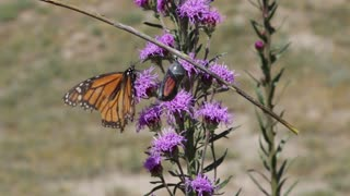The Life of a Monarch Butterfly - Video