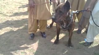A Very big Bull Dog kept with strong Rope  - Video