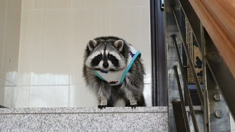 Raccoon looks out in the morning in his pajamas.