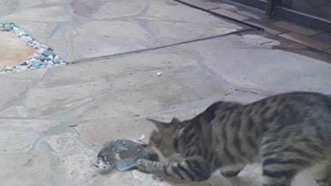 Adorable Kitten's cought her first Pigeon as her prey!