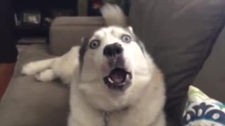 Jealous Husky Is Desperate For Owner's Attention
