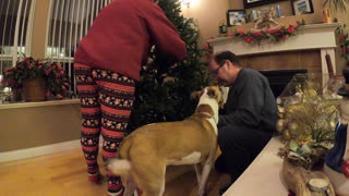 Needy pup helps owner prepare Christmas tree