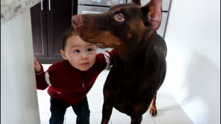 Toddler kisses his best friend, a Red Doberman Pinscher - Video