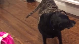 Small cat jumps on top of big black dog and then falls off - Video