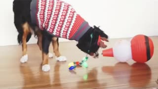 Black dog in christmas sweater plays with santa lantern - Video