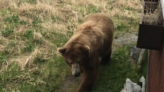 Back Rub for a Brown Bear - Video