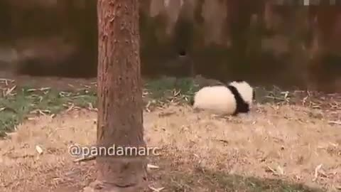 The tree-climbing panda is so cute after sliding