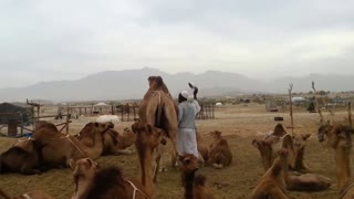 Milking from Camel by baby camel