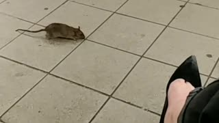 Rat walks next to woman pink purse runs away