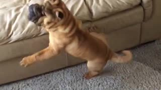 Sharpei tries to jump on couch but fails! So many folds!